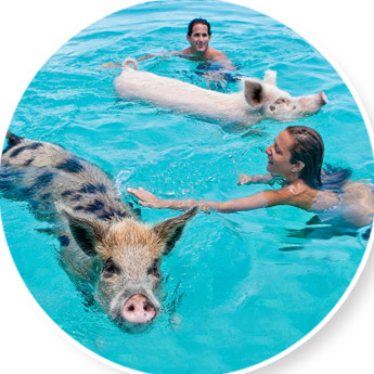 people and pigs in water